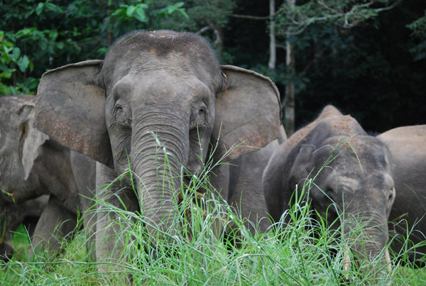 Bornean elephants, the smallest in the world, in riverine habitat. Photo by: Marc Ancrenaz/HUTAN.