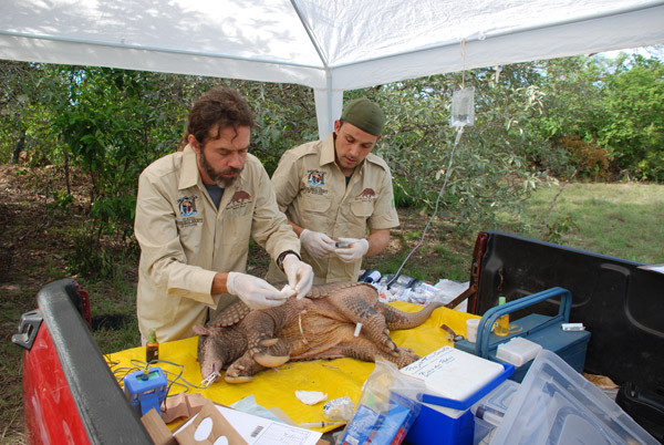 Team takes samples from giant armadillo. Photo by: The Pantanal Giant Armadillo Project.