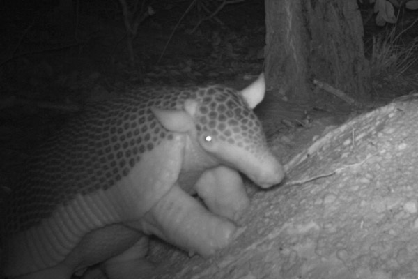 A baby giant on camera trap. Photo by: The Pantanal Giant Armadillo Project.