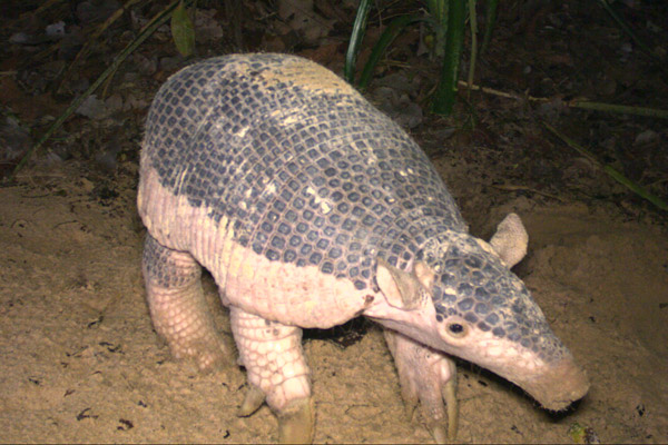 Documenting giant armadillo babies helps shed light on the species' reproduction, not to mention their cuteness. Photo by: The Pantanal Giant Armadillo Project.