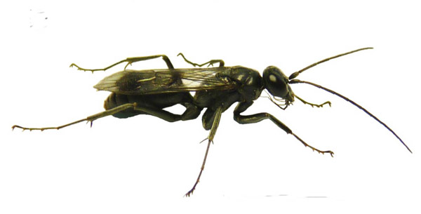 Adult female of the new wasp species, the bone-house wasp. Photo courtesy of Staab et al.