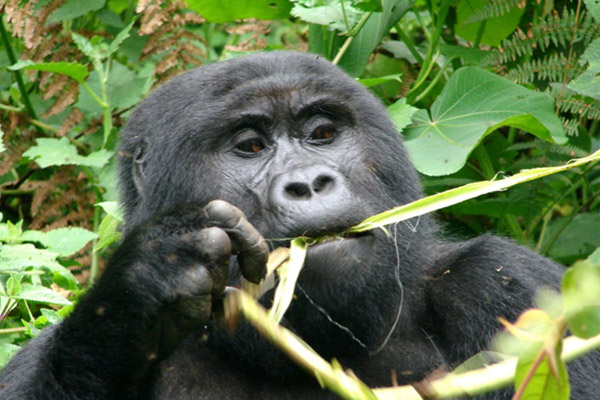 The Bwindi Impenetrable National Park, Uganda hosts nearly half of the world's remaining mountain gorillas. Photo courtesy of Douglas Sheil.