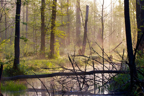 Bosque de Bialowieza al atardecer. El bosque anciano y virgen se caracteriza por sus árboles ancianos, altos mantos de hojas, alguna maleza y una enorme cantidad de restos de árboles. Fotografía de: Lukasz Mazurek.
