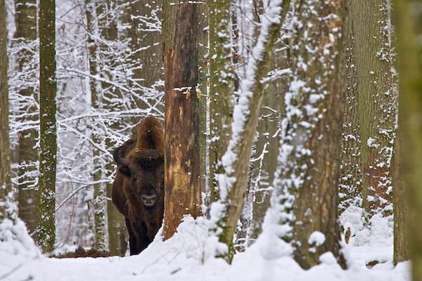 Un bisonte europeo en invierno. Fotografía de: Lukasz Mazurek.