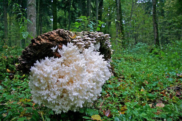 Coral tooth fungus in a fallen tree. Photo by: Lukasz Mazurek.