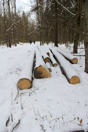 Logging is the largest threat to Bialoweiza today. Photo by: Jeremy Hance.