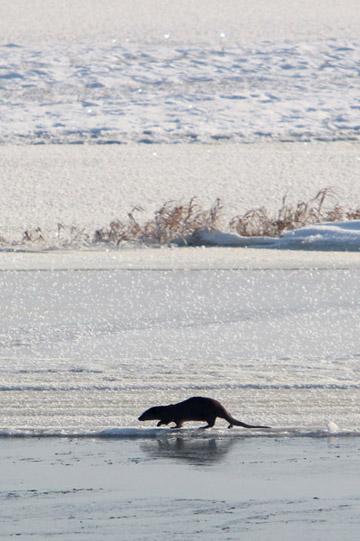 Una nutria en las orillas de los humedales helados. Fotografía de: Jeremy Hance.