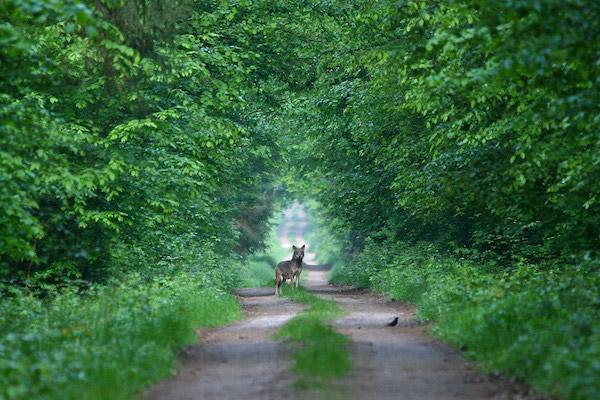 El mayor depredador en el bosque de Bialoweiza: el lobo. A pesar de ser deshonrados y cazados durante siglos, los lobos son enormemente importantes para la ecología del bosque. Fotografía de Lukasz Mazurek