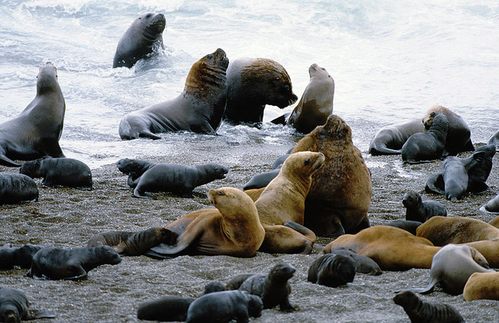 South American seals. Photo by: Reinhard Jahn, Mannheim.