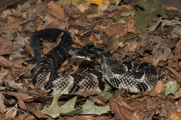 The timber rattlesnake (Crotalus horridus) is found in the Eastern U.S. It has vanished from some parts of its range, putting it on the endangered list in some states. Photo by: Julie Larsen Maher/WCS.