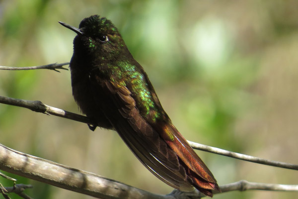 The Perijá metaltail is considered Endangered. Photo by: Trevor Ellery.
