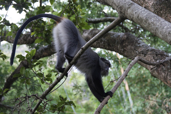 One of the samango monkeys researchers followed in the trees of South Africa. Photo courtesy of: Katarzyna Nowak.