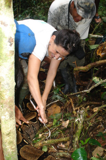 Measuring the four-meter long boa that ate one of the tagged females, Lacy. Photo courtesy of Renata Leite Pitman.
