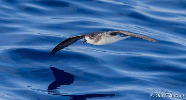The desertas petrel (Pterodroma-deserta), a new species, is listed as Vulnerable. Photo by: Olli Tenuvuo.