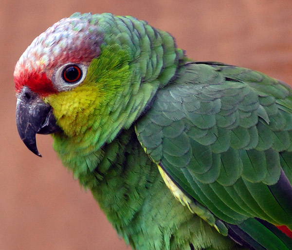 A newly-recognized bird species: the Lilacine Amazon (Amazona-lilacina). This parrot is listed as Endangered. Photo by: Steve Wilson.