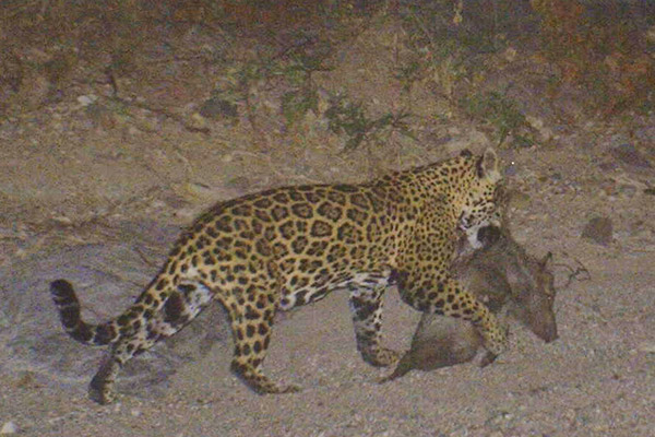 Corazón with a javelina kill in 2012. Scientists believe that if prey is built up, jaguars may not target livestock. Photo courtesy of the Northern Jaguar Project/Naturalia.