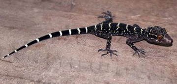 Cyrtodactylus vilaphongi: the world's 10,000th reptile. Photo by: Truong Nguyen.