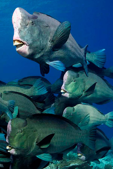 A school of bumphead parrotfish. Photo by: David Henshaw.