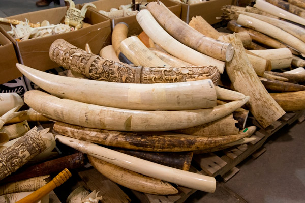 Ivory carvings that were destroyed during the U.S. ivory crush earlier this year. Photo by: Julie Larsen Maher/WCS.