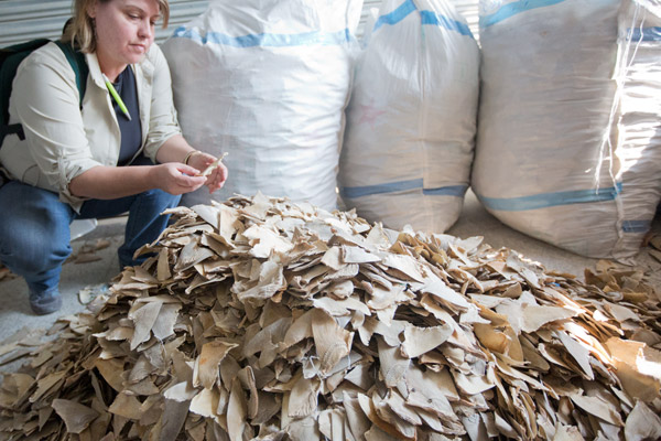 Shark fins are usually sliced off the animal while its still alive. Photo by: WildAid/Hilton.