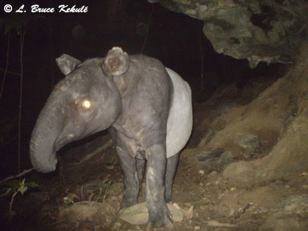 Malayan tapir caught on camera trap in Khlong Saeng Wildlife Sanctuary. The Malayan tapir is listed as Endangered by the IUCN Red List. Photo by: Bruce Kekule