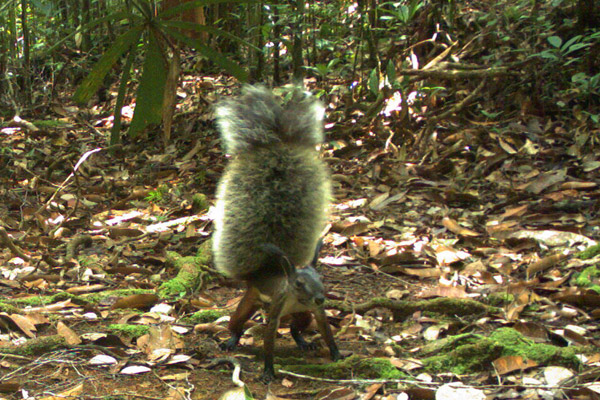 The tufted ground squirrel (Rheithrosciurus macrotis) caught on camera trap in Kalimantan, Indonesian Borneo. Outside camera traps, few photos of this species exist. Photo by: Erik Meijaard.