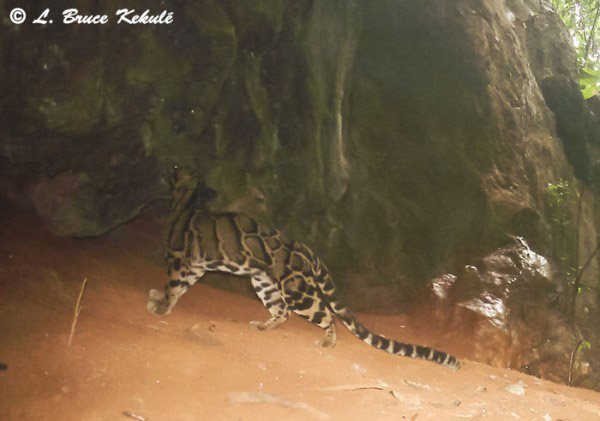 Clouded leopard on camera trap. This medium-sized feline is listed as Vulnerable. Photo by: Bruce Kekule