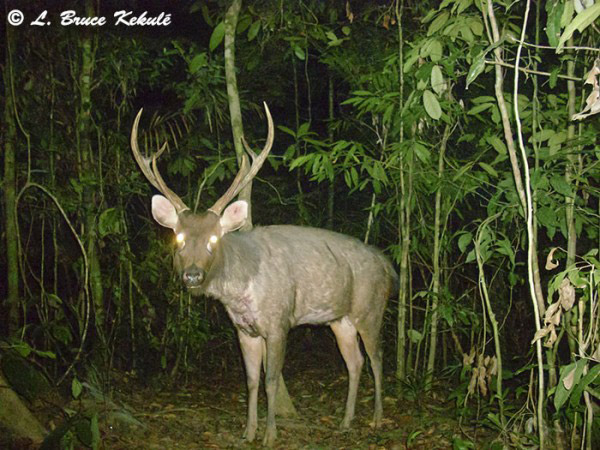 Impressive sambar stag in the sanctuary caught on camera trap. The sambar is also listed as Vulnerable. Photo by: Bruce Kekule