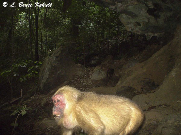 A stump-tailed macaque (Macaca arctoides) in the sanctuary. This primate is listed as Vulnerable. Photo by: Bruce Kekule