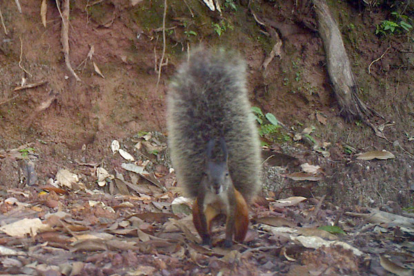 Tufted ground squirrel showing off that big tail. Photo by: Integrated Conservation.