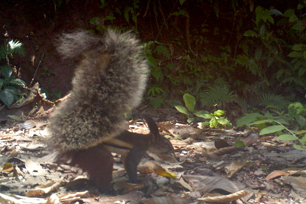 Tufted ground squirrel on camera trap. Photo by: Integrated Conservation.