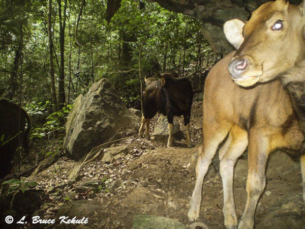 Another guar on camera trap. Photo by: Bruce Kekule