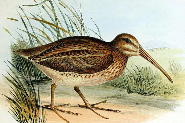 Drawing of the North Island snipe (Coenocorypha barrierensis), which went extinct on New Zealand in the 1870s. Illustration by: Unknown.