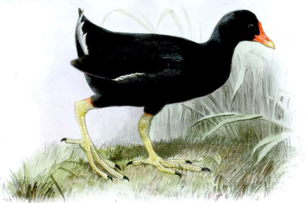 Illustration of the Tristan moorhen (Gallinula nesiotis), which went extinct at the end of the 19th Century. Illustration by: J. Jury.