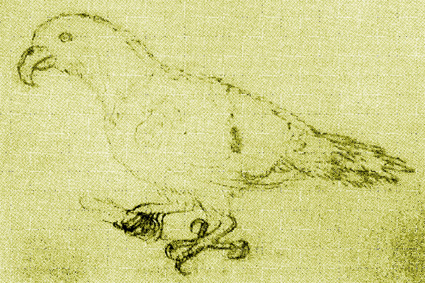 The only believed drawing of an Oceanic parrot (iEclectus infectus/i) from life made in 1793 in Tonga. Illustration by: Unknown.