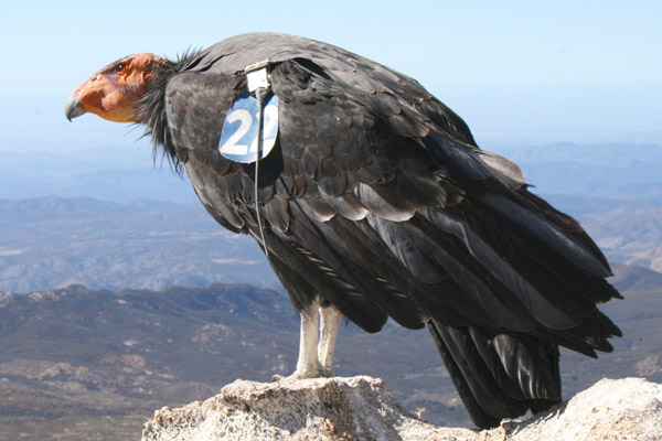 Thanks to conservationists, the California condor is taking to the skies again. Photo by: James K. Sheppard/San Diego Zoo.