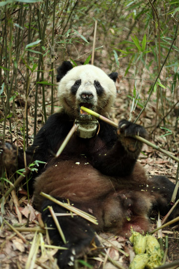 Panda wearing a GPS collar. Panda populations have largely stabilized and may even be on the rise, according to expert Ron Swaisgood. Photo by: China Academy of Sciences.