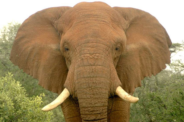 Changila, a male elephant, before being poached outside Samburu National Reserve Kenya. Photo by: David Daballen.