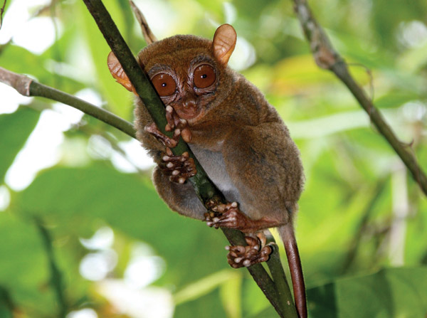 A tarsier on Dinagat Island, representing a just discovered evolutionary lineage. Photo by: Andrew Cunningham.