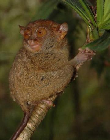 A Philippine tarsier.