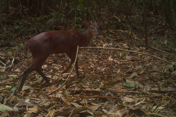 A red brocket deer on camera trap within the canal zone. Photo courtesy of Christopher Jordan.