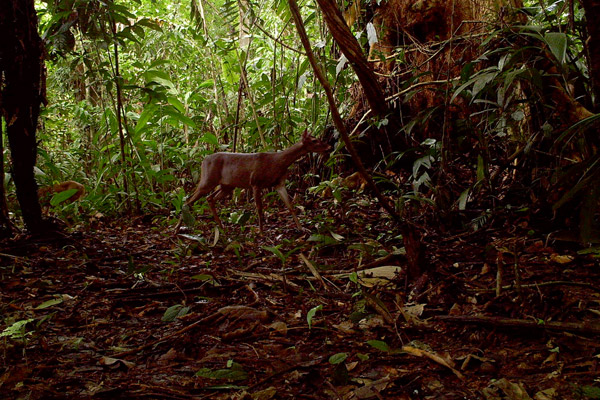 White-tailed deer on camera trap within the canal zone. Photo courtesy of Christopher Jordan.