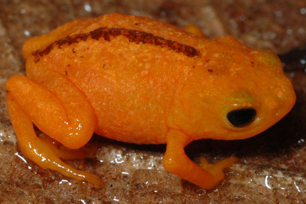 Brachycephalus guarani was just discovered in 2012. It is endemic to the Serra do Mar mountain range in the Atlantic Forest. Individuals are smaller than 2 millimeters. It hasn't been evaluated by the IUCN Red List yet. Photo by: Thais H. Condez.