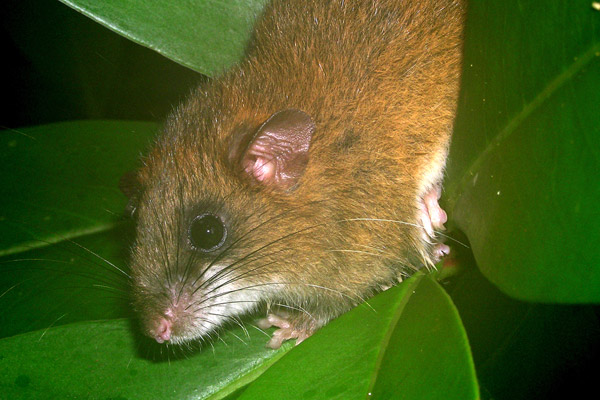 Only found in the Atlantic Forest, the montane forest rat (Drymoreomys albimaculatus) was just described in 2011. It is the only member of its genus and has yet to be evaluated by the IUCN Red List. Photo by: Thomas Püttker.