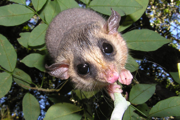 The Tate's woolly mouse opossum (Micoureus paraguayanus) is mostly endemic to the Atlantic Forest. It is not threatened. Photo by: Thomas Püttker.