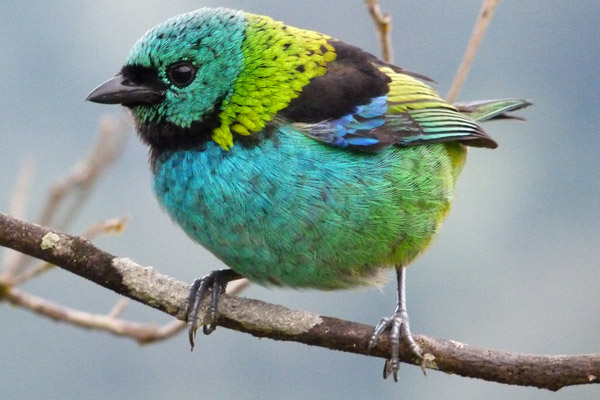 The green-headed Tanager (Tangara seledon) is one of the most colorful birds in forests of Southeastern Brazil. It is listed as Least Concern by the IUCN Red List. Photo by: Sandro Von Matter.