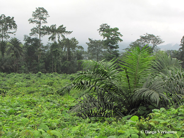 Oil palm plantation in Sao Tome and Principe in West Africa. Photo by: Diogo Veríssimo.