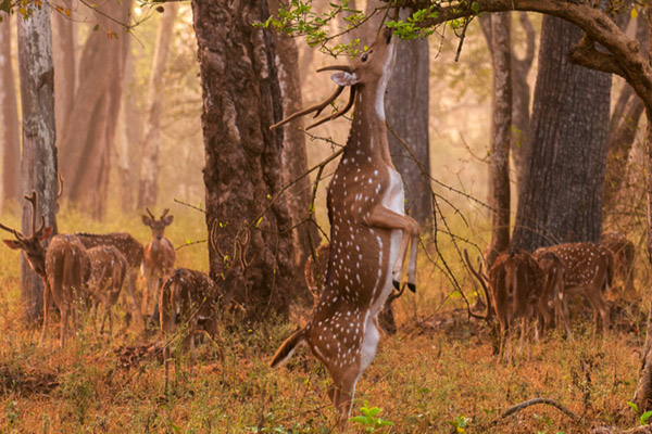 Cheetal (Axis axis) in Nagarhole Park. They are also commonly killed by vehicle. Photo by: Yathin S. Krishnappa/Creative Commons Share Alike 3.0 License.