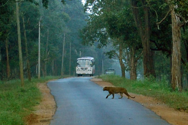 A big cat crosses the Mysore-Mananthavadi Highway as commercial vehicles look on. Photo credit: Vikram Nanjappa. Adapted from a 2010 report on wildlife mortality reduction measures in the Nagarhole Tiger Reserve.