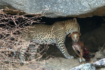 A leopard enjoys its kill of domestic dog in Bera in the state of Rajasthan. Photo by: Gaffar Khan.